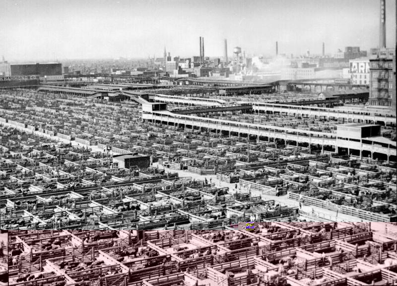 800px-Livestock_chicago_1947.jpg