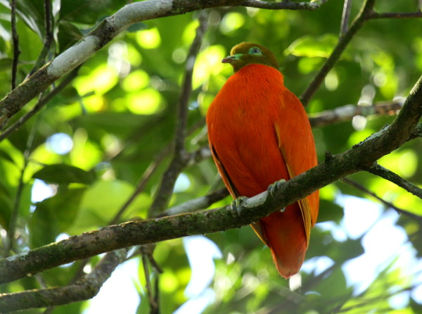 Orange Fruit Dove.JPG