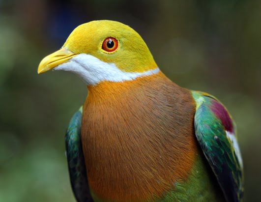 Ornate Fruit Dove.jpg