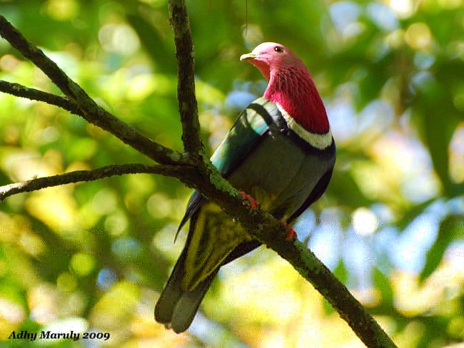 Pink-headed Fruit Dove.jpg
